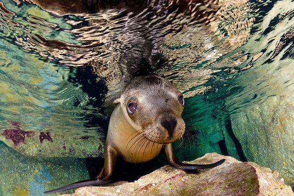 Sea lion in the Sea of Cortez, Mexico