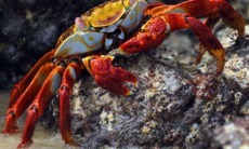 Red cliff crab, Galapagos