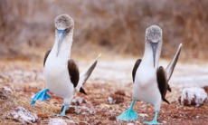 Pair of blue footed boobies, Galapagos