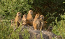 Baboons in Senegal