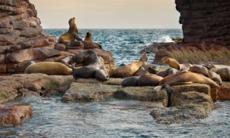 Sea lions, Sea of Cortez