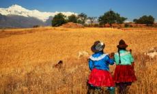Harvesting in Cordillera Negra, Peru