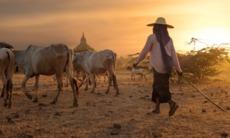 Herder in Bagan, Myanmar