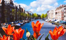 Tulips in Amsterdam, the Netherlands