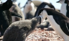Chinstrap penguins in the South Shetland Islands, Antarctica