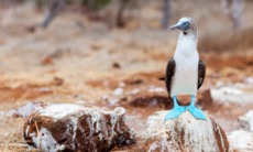 Galapagos cruises - Blue footed booby