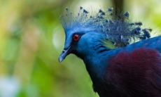 Papua New Guinea cruises - Victoria crowned pigeon