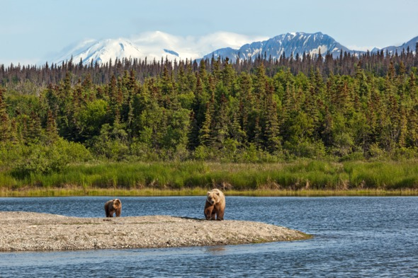 Grizzly bears in Katmai National Park, Alaska