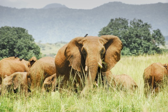Herd of elephants in Kidepo Valley National Park, Uganda