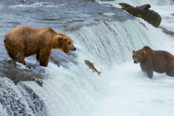Alaska bears fishing
