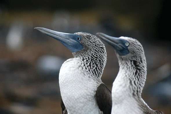 Blue footed boobies, Galapagos