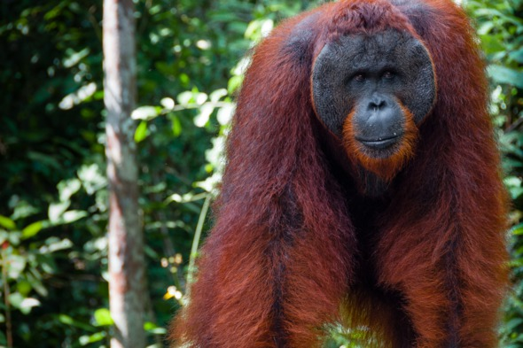 Silver Discoverer review - Orang utans in Borneo
