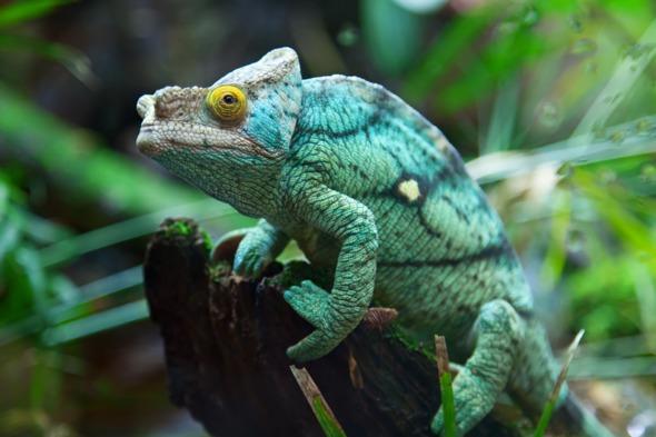 Green chameleon in Madagascar