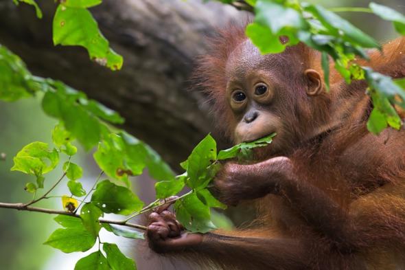 Orang utan in Borneo