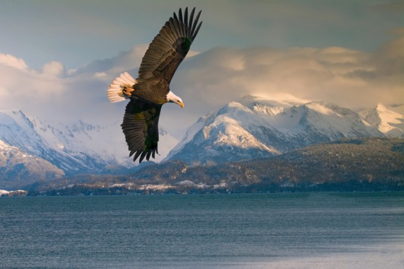Alaska expedition cruise guide - Bald eagle over Homer