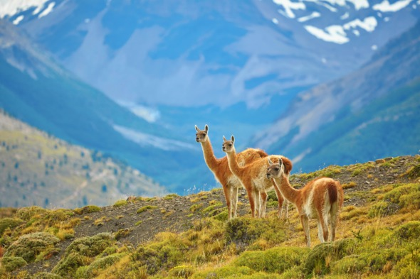 Guanacos in Torres del Paine National Park, Patagonia