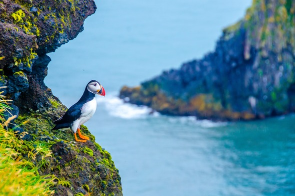 Northern Europe expedition cruises - Puffin in Iceland