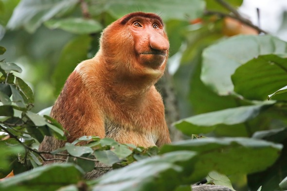 Proboscis monkey on a Borneo expedition cruise