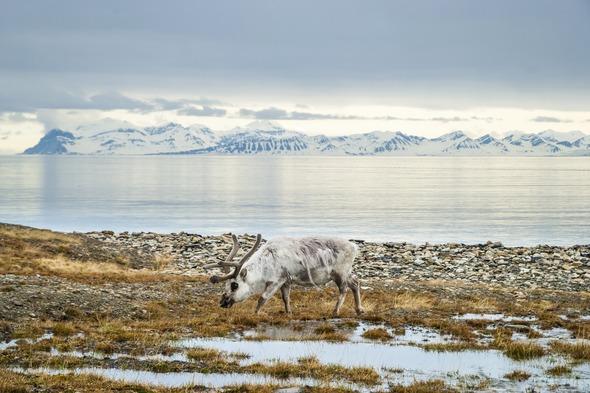 Reindeer in Svalbard