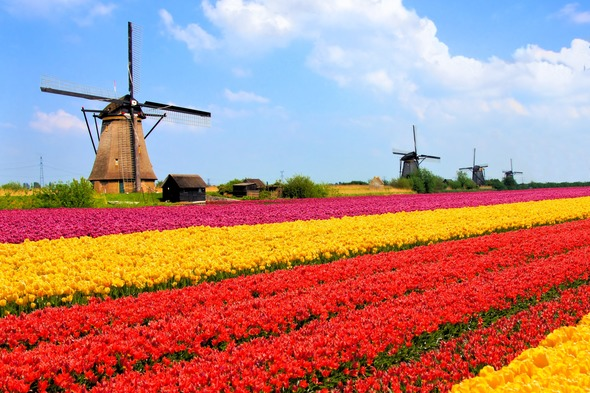 Windmills and tulip fields in the Netherlands