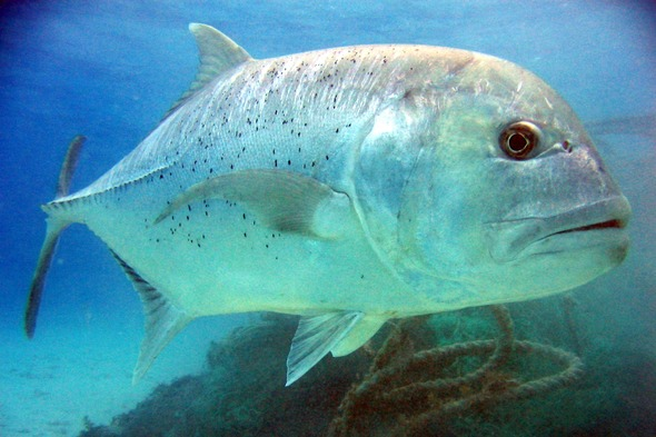 Giant trevally in the Seychelles, as seen on Blue Planet 2
