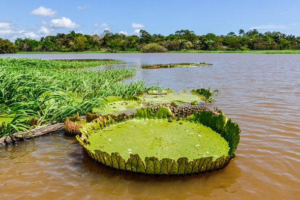 Water lily near Santarem in the Amazon rainforest