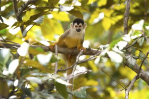 Squirrel monkey, Golfo Dulce, Costa Rica