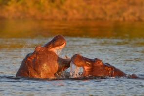Hippos in Chobe National Park, Botswana