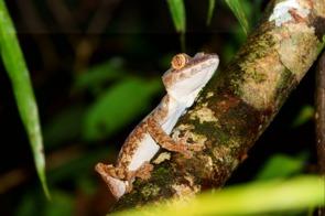 Giant leaf-tailed gecko in Nosy Mangabe, Madagascar