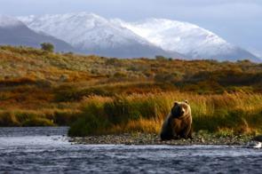 Kodiak brown bear, Alaska