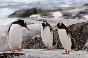 Gentoo penguins on Petermann Island, Antarctica