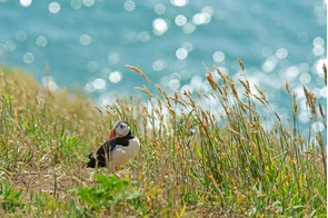Atlantic puffin on Skomer Island, Wales