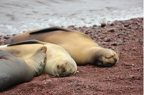 Sea lions on red sand beach on Rábida Island, Galapagos