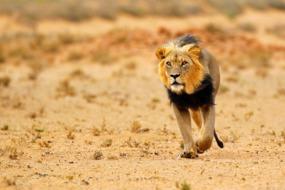Black maned lion in the Kalahari Desert, South Africa