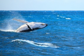 Humpback whale in the Atlantic Ocean