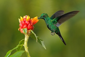 Green hummingbird, Costa Rica