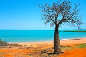 Baobab on the beach in the Kimberley region, Australia