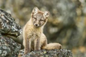 Svalbard cruises - Arctic fox