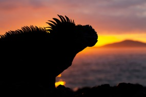 Galapagos expedition cruises - Marine iguana