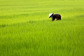 Vietnam, Cambodia & Mekong River expedition cruises - Rice paddy