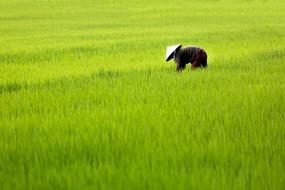 Vietnam, Cambodia & Mekong River expedition cruises - Rice paddy
