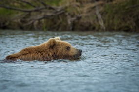 Russian Far East cruises - Kamchatka brown bear