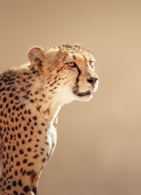 Cheetah in the Kalahari Desert