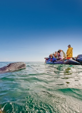 Whale in the Sea of Cortez
