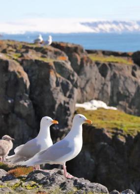Seagulls in Franz Josef Land, Russia
