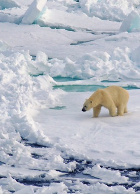 Silversea Expeditions review - Polar bear in the Arctic
