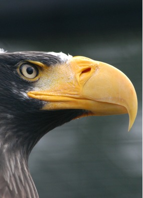 See Steller's sea eagles on a specialist birding cruise