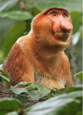Proboscis monkey on a Borneo expedition cruise