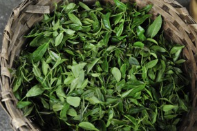 Freshly picked tea in Darjeeling