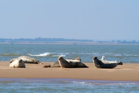 Seals on the beach in Kent